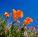 California-poppies---Medium